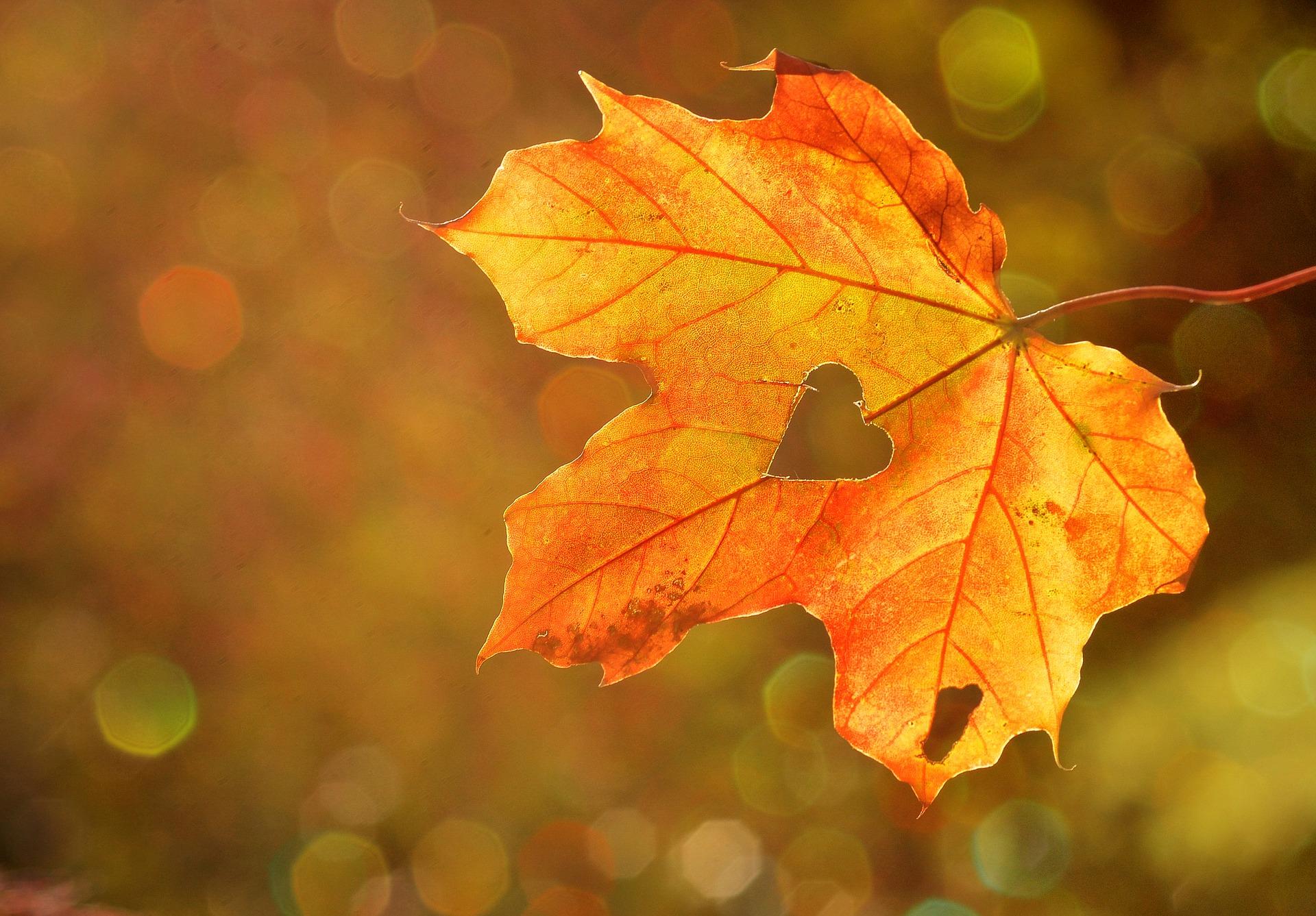楓の葉にハートマーク